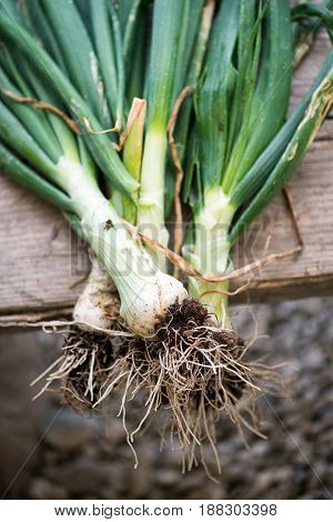 Bunch Of Freshly Harvested Spring Onions
