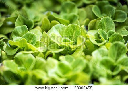 Plantation Of Young Green Spring Salad Shoots