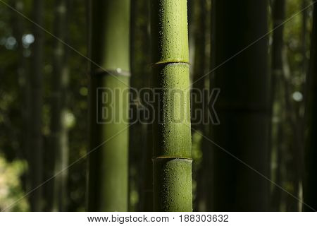 Detail of bamboo stalks with water drops and sun light