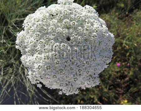 Hogweed Or Hemlock Plant