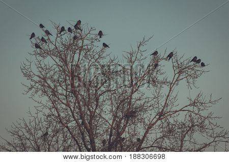 Crowded tree of birds in winter time - frozen sunrise, telephoto
