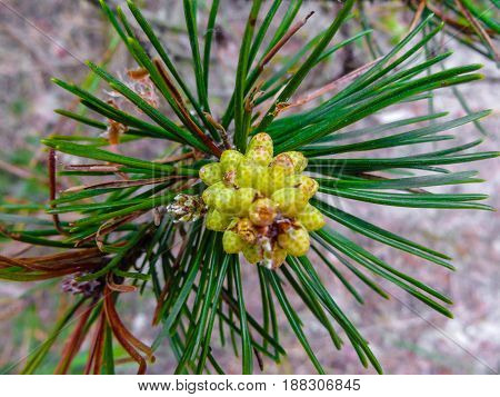 Beautiful young shoots of pine tree close