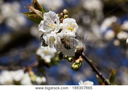Cherry blossoms on a branch with a bee on the flower