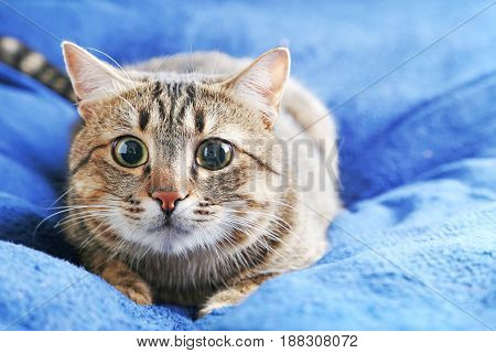 Beautiful Cat Lying On The Blue Plaid