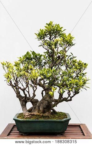 A beautifully pruned bonsai tree in a Japanese Garden