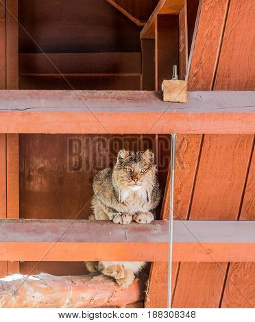 Bobcat sitting in the rafters of an old wood barn