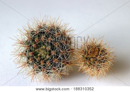 Side View Of Flowering Cacti. Selective Focus On The Cactus, Surrounded By Many Long Transparent And