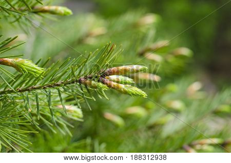 Young spring spruce tree blossoms. New fir branch in spring close up. Fresh spruce shoot natural background.