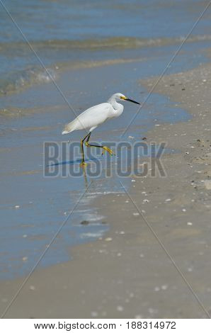 White egret walking out of the water onto the beach.