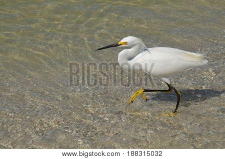 Great egret bird wading in shallow ocean water.