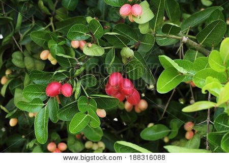 Carissa carundas is tree berry fruits grows naturally in the Himalayas hills lowland rain forests It has thorn in trunk.