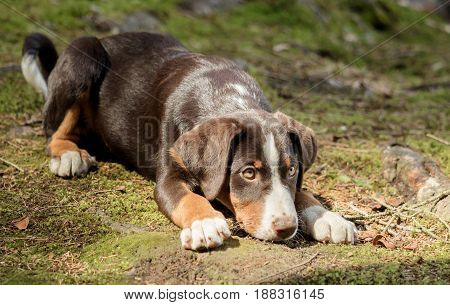 A cute Appenzeller puppy is lying and waiting