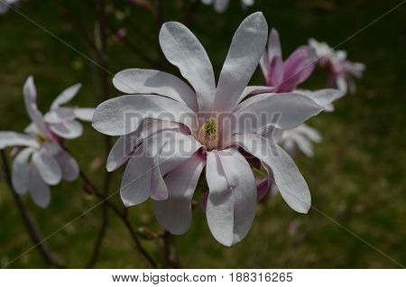 Flowering white and pink magnolia tree with blossoms.