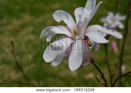 Tree with blooming pale pink magnolia flower blossoms.