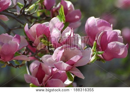 Flowering pink and white flower blossoms on a magnolia tree.