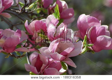 Gorgeous flowering pink magnolia tree in early spring.