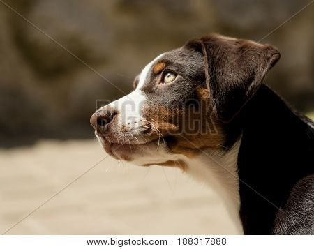 Head of an cute Appenzeller puppy outdoor