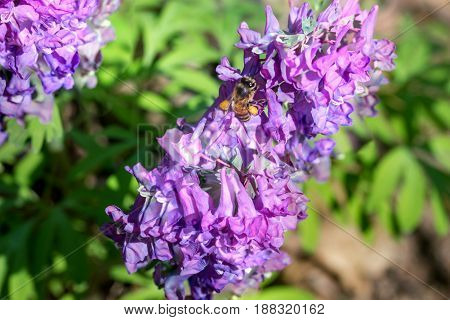 purple corydalis with apis close up on a green background