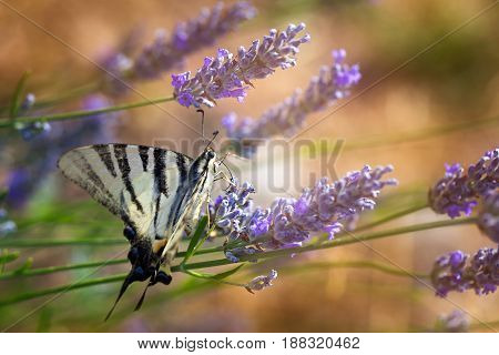 Swallowtail (papilio Machaon) On A Lavender Field