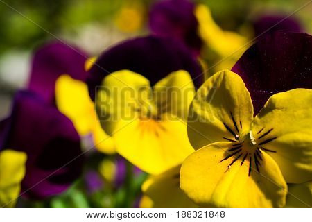 Yellow And Violet Pansy In Garden in Summer
