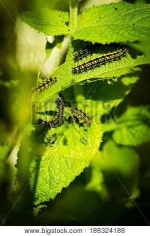Caterpillar Eating On A Nettle