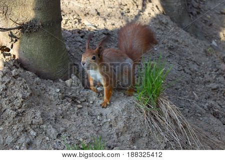 A red squirrel in the summer park