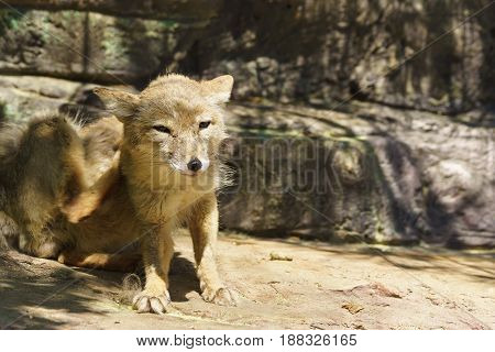 Corsac or steppe Fox (lat. Corsac Vulpes) - a carnivorous mammal of the genus foxes canine - squints at the sun