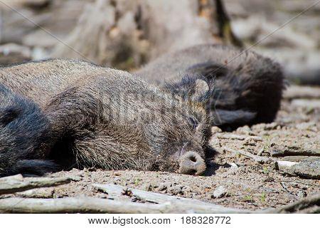 Portrait of a sleeping boar in a wildpark