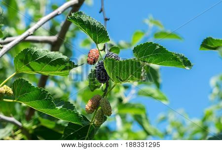 New  Mulberry, Black And Red Mulberries On A Branch On Blue Sky Background