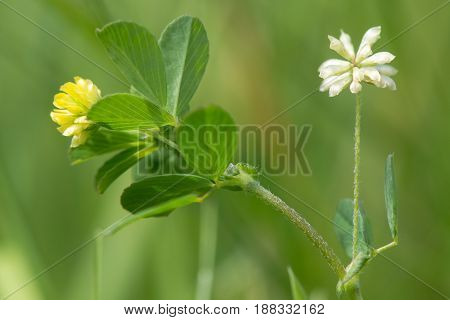 Lesser trefoil (Trifolium dubium) plant in flower. Fresh and mature flowers of a delicate legume (family Fabaceae) growing on calcareous grassland