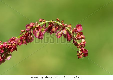 Common sorrel (Rumex acetosa) female plant in flower. Red flowers on common meadow plant in the family Polygonaceae
