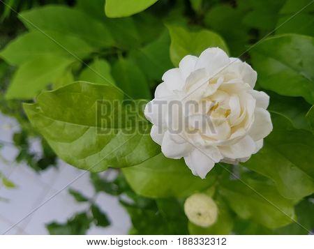 A beautiful kind of jasmine Jasminu Sambac