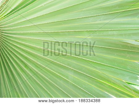 Palms green fresh leaf macro close up background