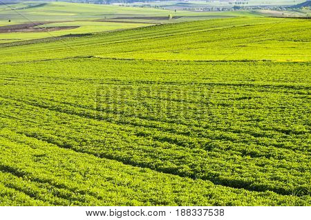 Pictures of green lentils fields planted in steppe climate in spring