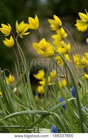 yellow tulips green stems and leaves blue flowers flowerbed