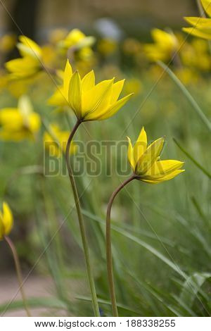 forest yellow tulips flower bed flower buds green stems and leaves 2 flower