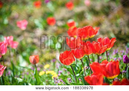 Red Beautiful Tulips Field In Spring Time With Sunlight, Floral Background
