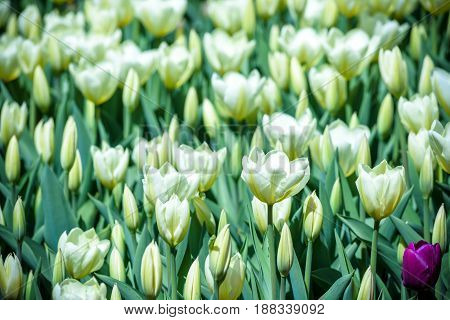 Beautiful White Tulips Flowerbed Closeup. Flower Background. Summer Garden Landscape Design