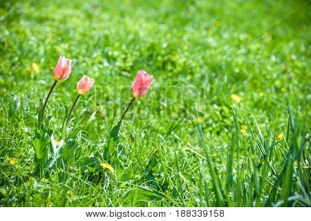 Amazing Nature Of Pink Tulips Under Sunlight At The Middle Of Summer Or Spring Day Landscape. Natura
