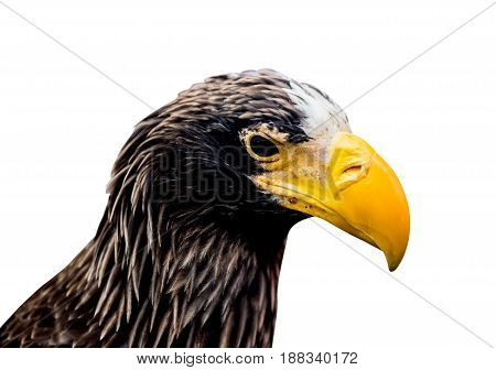 hawk eagle isolated and path on white with clipping path