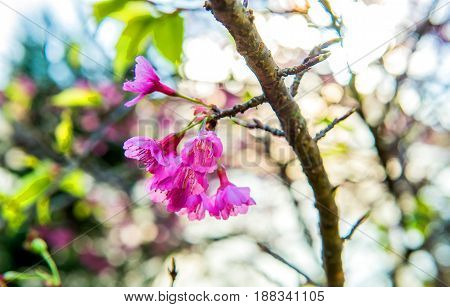 blooming Sakura flower and Cherry bossom tree