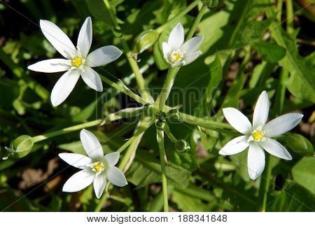 The closeup of bright flowers Ornithogalum known as the Star-of-Bethlehem the beautiful white star-shaped flowers in spring day