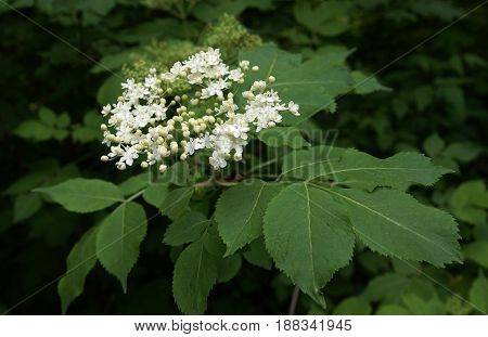 Fresh inflorescences of Elderflower or Sambucus nigra in spring day