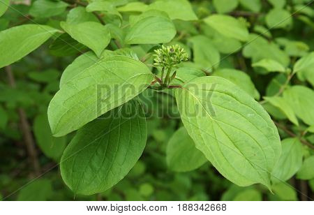Unblown inflorescences and Leaves of Cornus sericea syn. C. stolonifera Swida sericea in spring day
