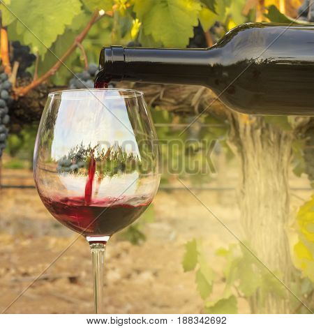 Photo of red wine poured into glass from bottle on blurred background of a vineyard right before harvest, with hanging branches of grapes. With a place for text