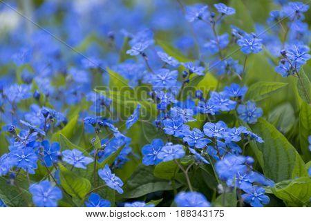 spring flowers primroses and blue petals meadow flowerbed