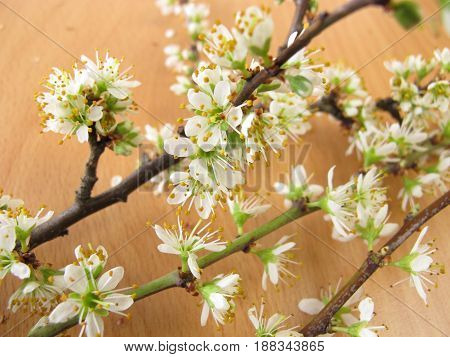 Twigs with white blackthorn flowers, prunus spinosa