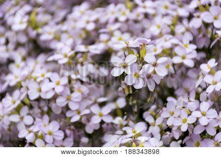 spring pink flowers rezucha Arends petals primroses