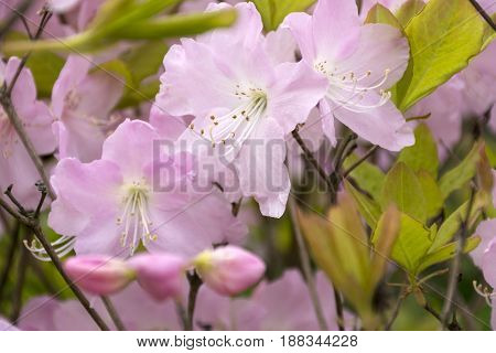 flowers with pink petals rhododendrons plant, garden