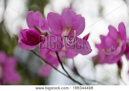 branch spring flower with pink petals flower rhododendron